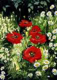 Poppies and Daisies - watercolour by Dorothy Pavey