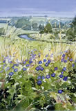 Windrush/Meadow Cranesbill - watercolour by Dorothy Pavey