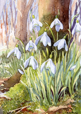 Snow drops by Dorothy Pavey